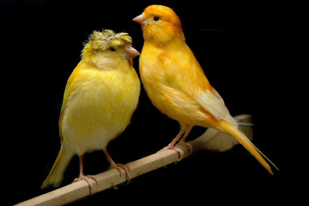 5 cara merawat burung kenari sebelum kawin   burungnya