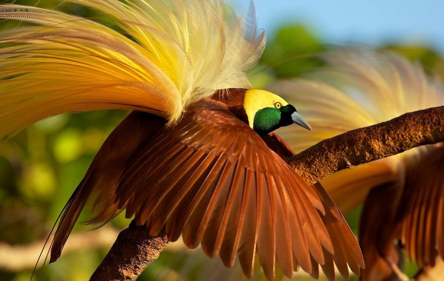 Burung Cendrawasih (youtube.com)