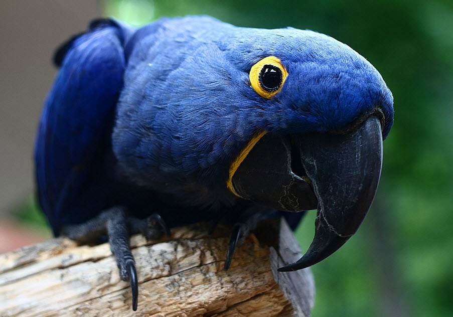 Burung Hyacinth Macaw (sunira wikimedia)