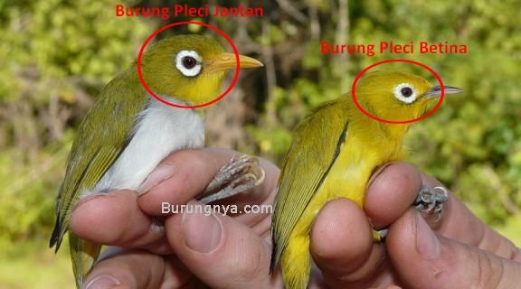 8 Cara Mengetahui Burung Pleci Betina Yang Siap Kawin Burungnya Com