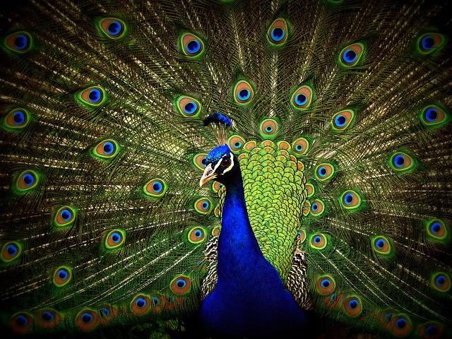 Burung Merak (TheMysteriousWorld)