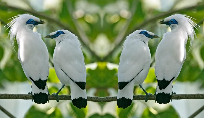 Burung Jalak (Holobis.net)
