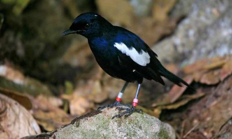 Burung Kacer Jawa (futura-sciences.com)