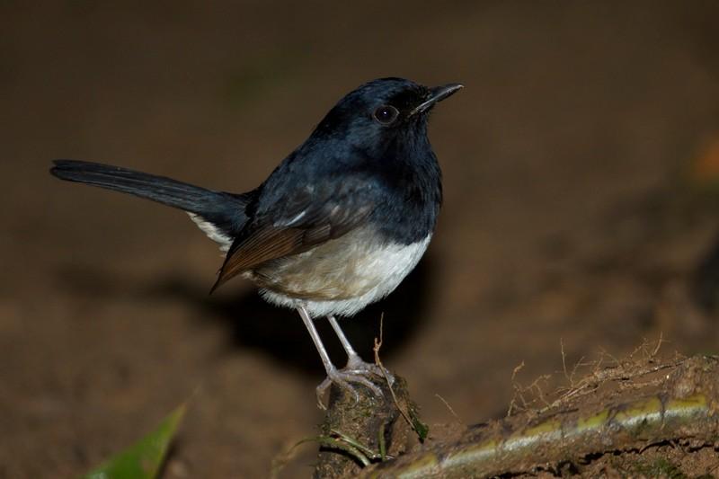 Burung Kacer Madagaskar (wantexpeditions.com)