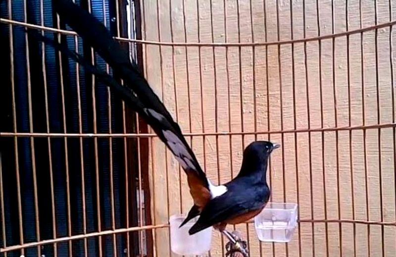 Burung Murai Batu Bahorok (youtube.com)