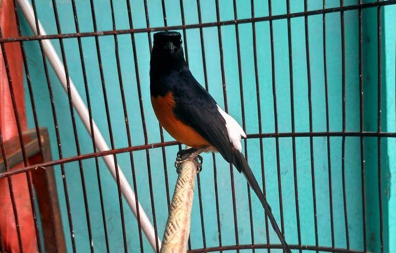 Burung Murai Batu Bordan (youtube.com)