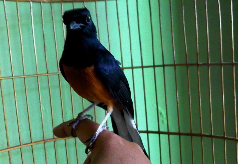 Burung Murai Batu Borneo atau Kalimantan (damai-9.com)