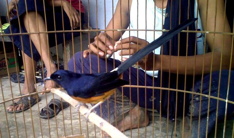 Burung Murai Batu Lahat (seputar-infoburungs.blogspot.com)