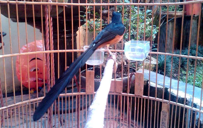 Burung Murai Batu Medan (bandarkicau.blogspot.com)