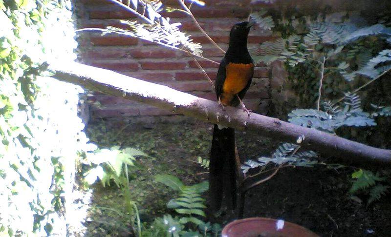 Burung Murai Batu Nias (kicaumania373.wordpress.com)