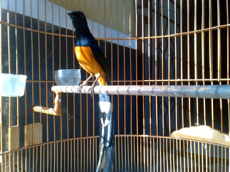 Burung Murai Batu Thailand (kicaumania.or.id)