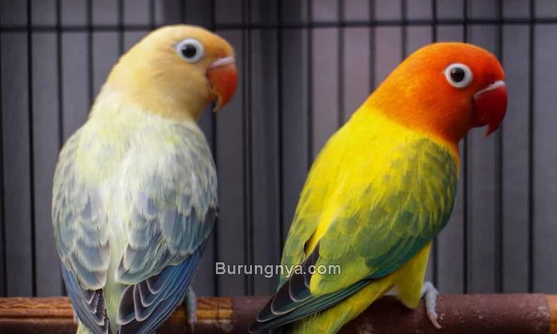 Jenis Lovebird Lengkap dengan Gambar (instagram.com)