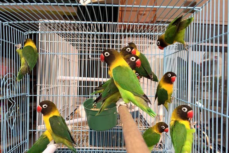Lovebird Dakori (tokopedia.com)
