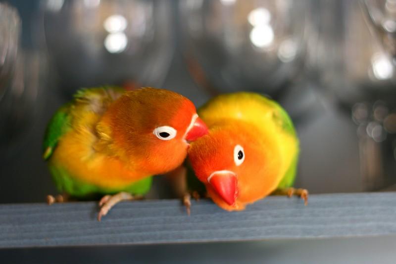 Lovebird Fischer (wikimedia)