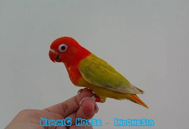 Lovebird Pale Fallow (youtube.com)