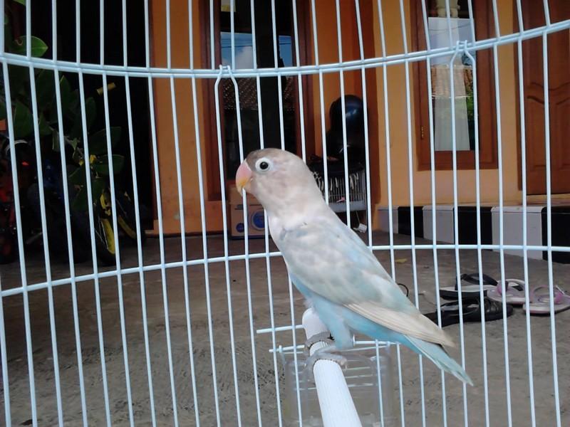 Lovebird Pastel (kaskus)