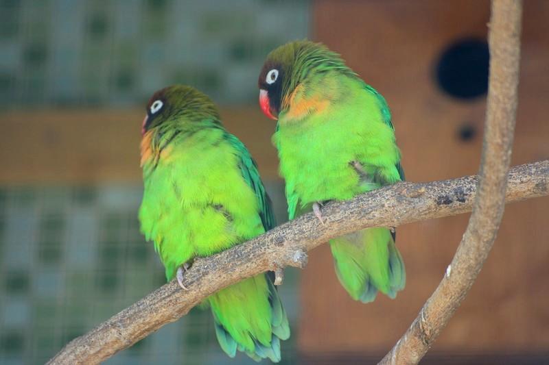 Lovebird Pipi Hitam (gbif)
