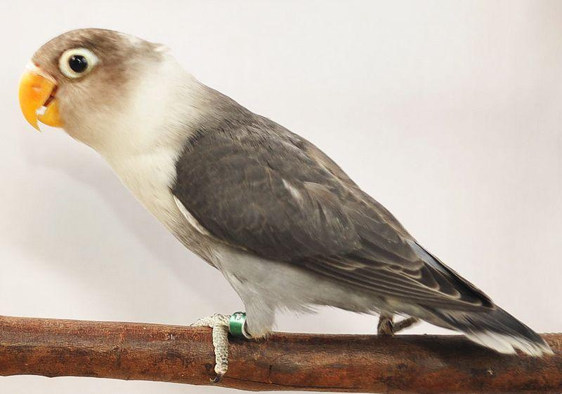 Lovebird Slaty (philippinelovebirds.blogspot.com)