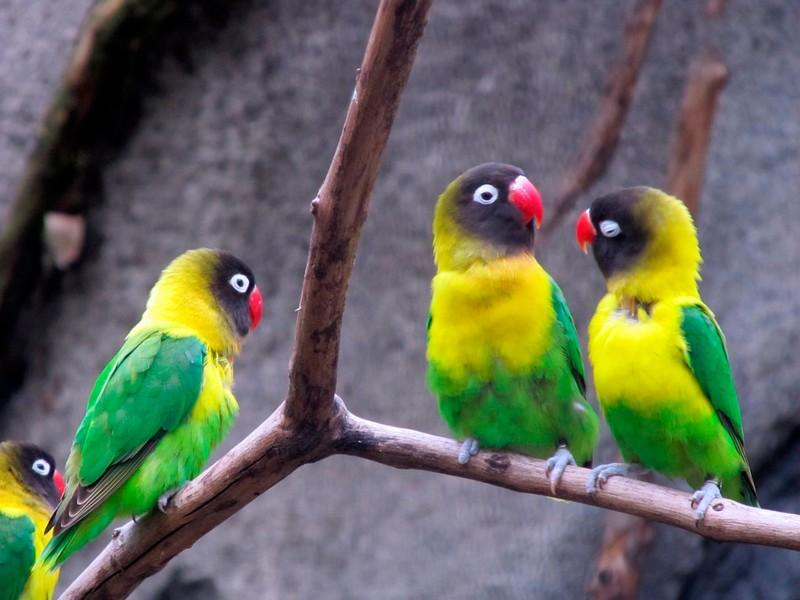 Lovebird Topeng (mascotarios)