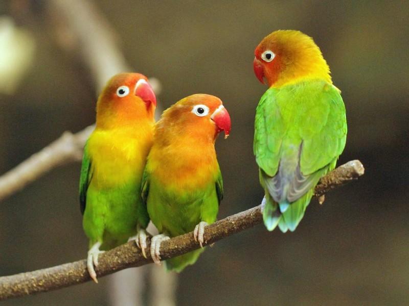 30 Jenis Lovebird Tercantik Lengkap dengan Gambarnya