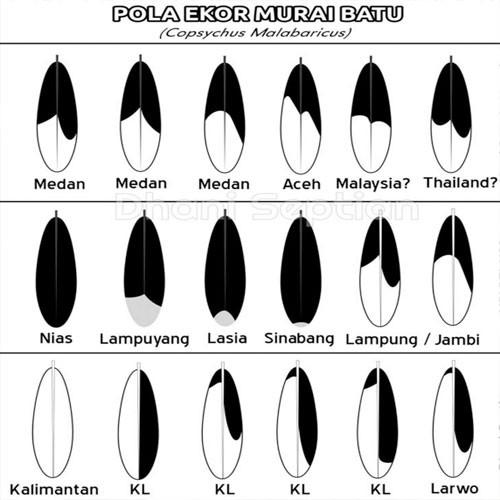 Pola bulu ekor burung Murai Batu (Kicauburung.id)