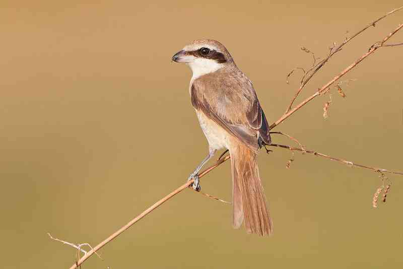 Brown shrike, Lanius cristatus (wikipedia.org)