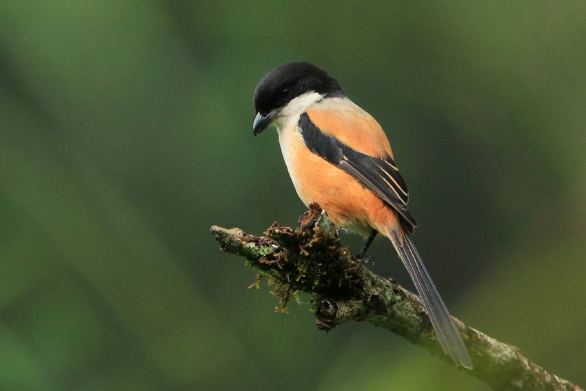 33 Jenis Burung Cendet di Seluruh Dunia Lengkap dengan Gambarnya