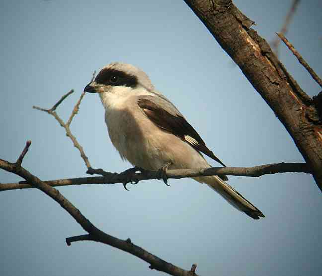 Lesser grey shrike, Lanius minor (wikipedia.org)
