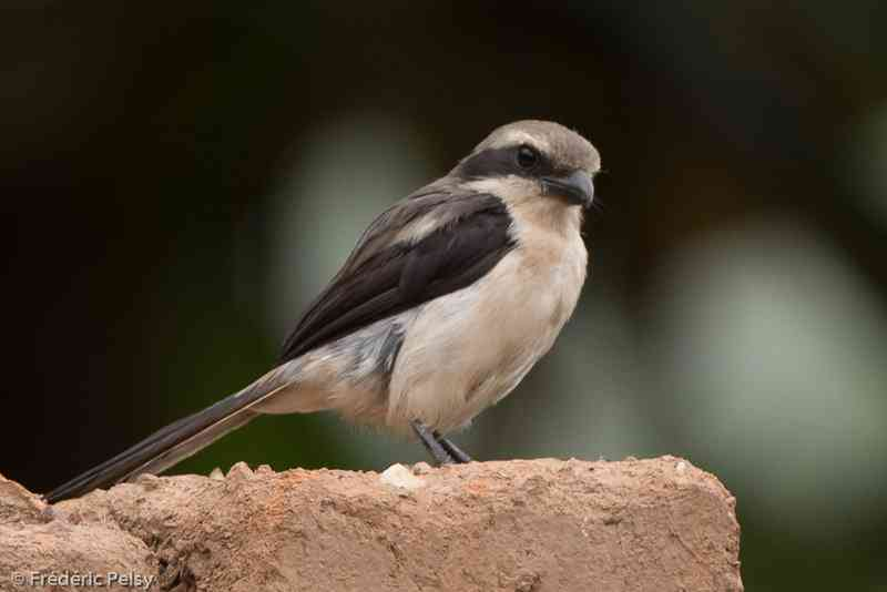 Mackinnon shrike, Lanius mackinnoni (oiseaux.net)