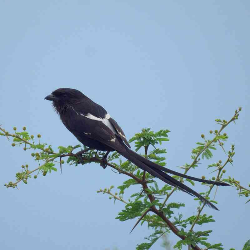 Magpie shrike, Urolestes melanoleucus (wikipedia.org)