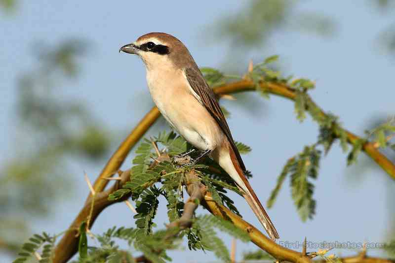 Red-tailed shrike, Lanius phoenicuroides (bird-stockphotos.photoshelter.com)
