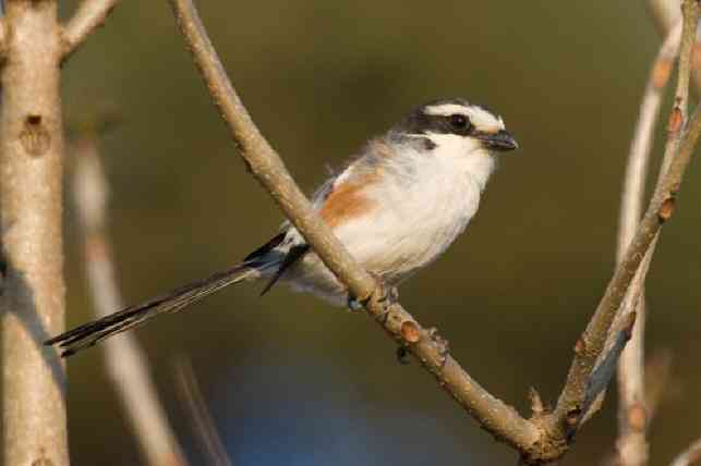 Uhehe fiscal, Lanius collaris marwitzi (worldbirds.eu)