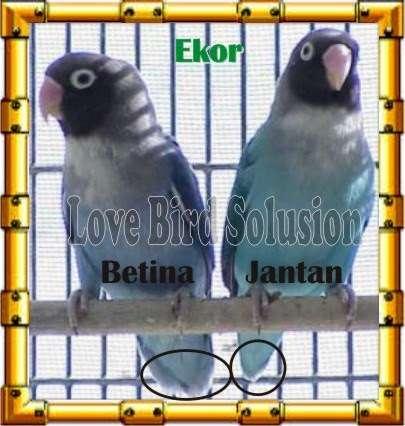 Bentuk ekor (lovebirdku.com)