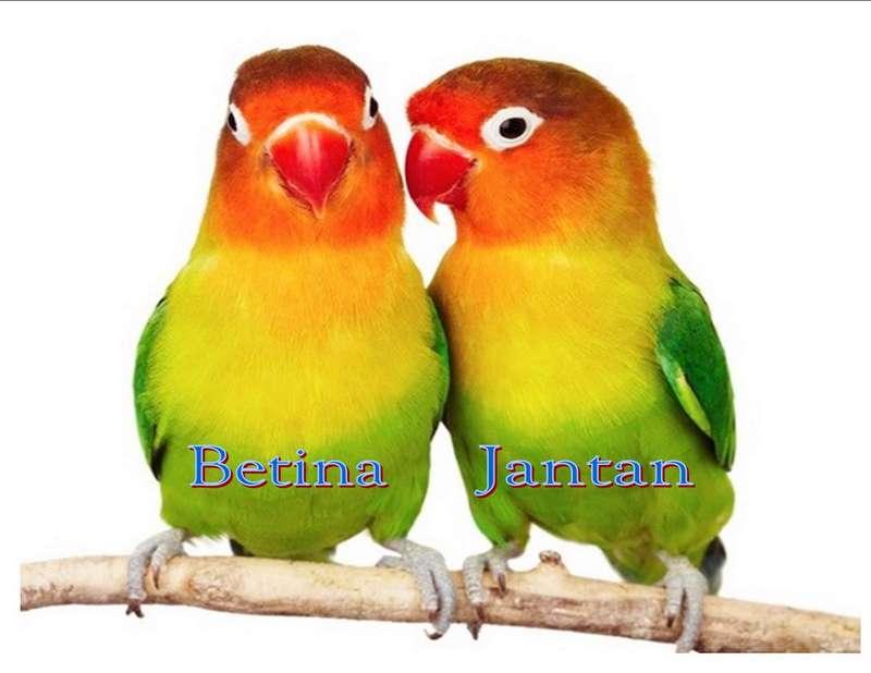 Bentuk fisik (lovebirdcomunity.blogspot.co.id)