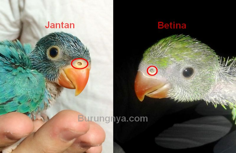 Bentuk lubang hidung Lovebird (Burungnya.com)