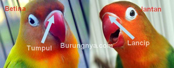 Bentuk paruh Lovebird jantan dan betina (burungnya.com)