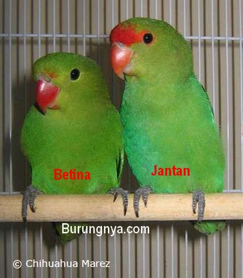 Cara bertengger (parrotfeather.com)