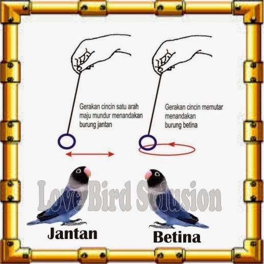 Cara membedakan jenis kelamin Lovebird menggunakan cincin emas (lovebirdku.com)