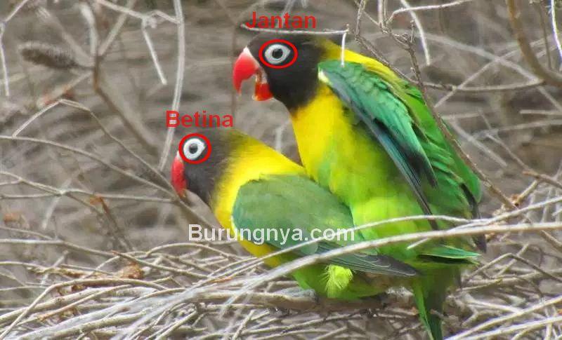 Lingkar kacamata Lovebird jantan dan betina (trevorsbirding.com)