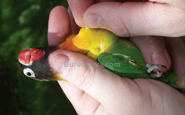 Tes DNA Lovebird (animalgenetics.us)