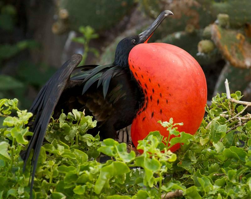 Burung Cikalang (flickr.com)
