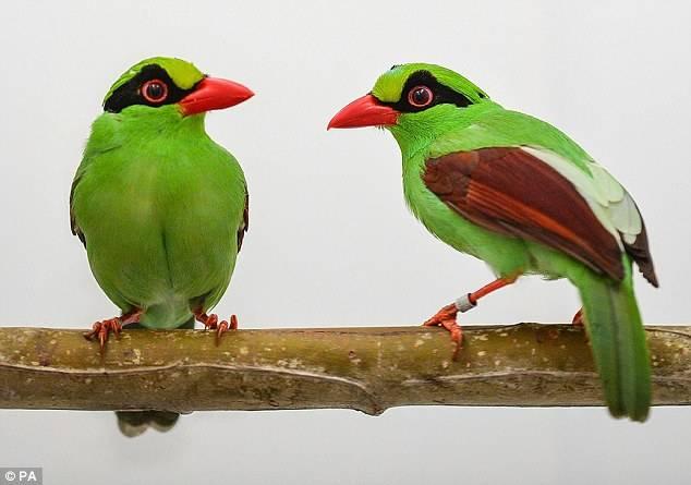 Burung Murai Hijau Jawa