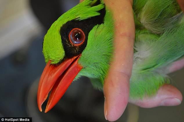 Burung Murai Hijau Jawa terancam punah