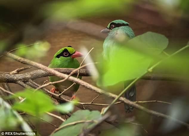 Sepasang Burung Murai Hijau Jawa