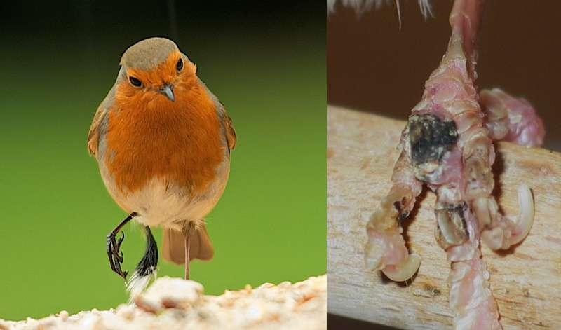 Burung mengangkat kaki (rspb.org.uk)