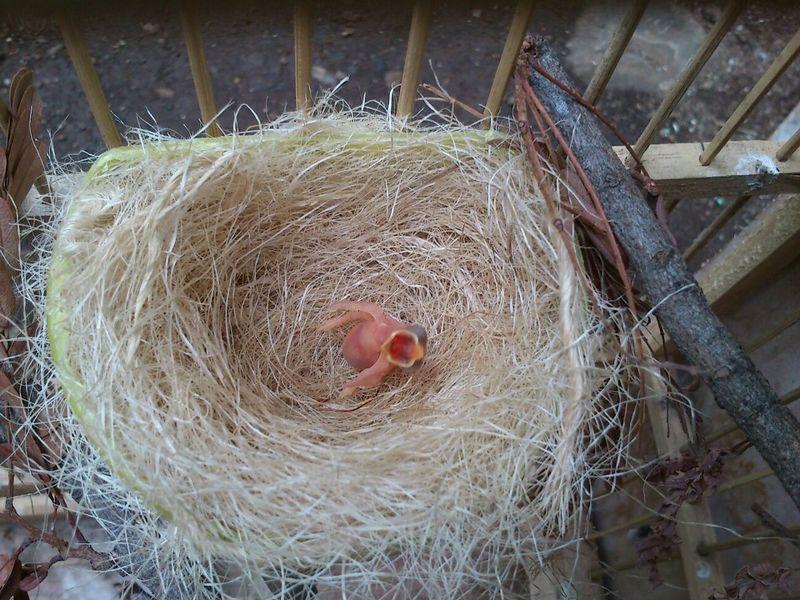 Anakan Pleci yang baru menetas (burung252.blogspot.co.id)