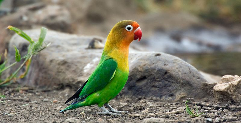 Unduh 83 Foto Gambar Burung Lovebird Ngekek Panjang  Terbaik Gratis