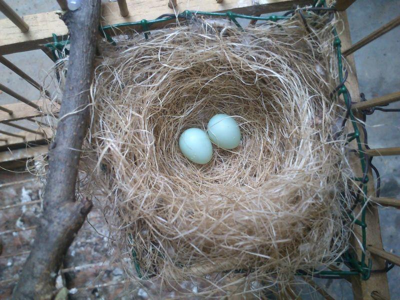 Telur burung Pleci (sugengpleci.blogspot.com)