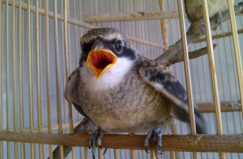 Burung Cendet (alvancms.blogspot.co.id)