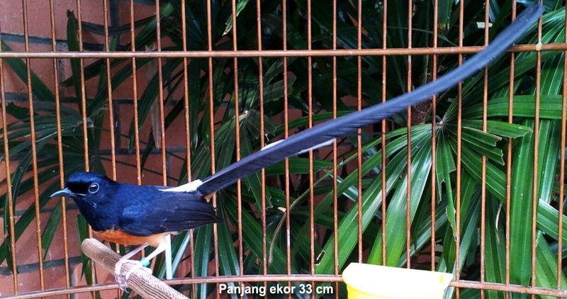 Burung Murai Batu dengan ekor terpanjang 33 cm (omkicau.com)